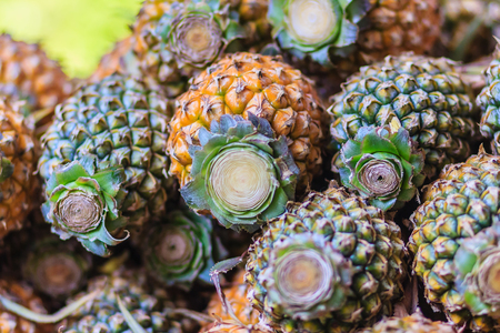 Fresh organic Phulae pineapple for sale at the fruit market. The most famous Chiangrai Phu lae (in Thai language) plant species Pineapple from Chiang Rai province Northern of Thailand.