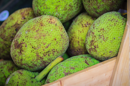 Extra large size of organic breadfruit (Artocarpus altilis) fruit for sale at the fruit market. Breadfruit is a species of flowering tree in the mulberry and jackfruit family. Stock Photo