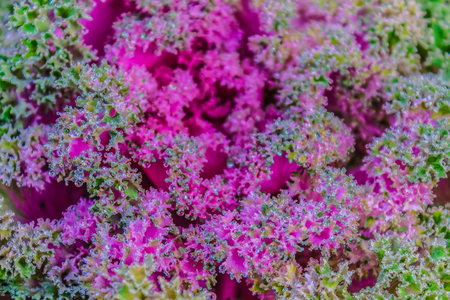 flowering kale: Beautiful ornamental decorative cabbage covered with a morning frost background. Organic purple decorative cabbage (Brassica oleracea var. acephala) in the garden.