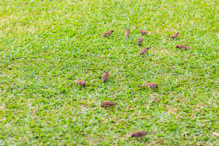Flock of Eurasian Tree Sparrow bird are looking for food on grass field. It is passerine bird in the sparrow family with a rich chestnut crown and nape, and a black patch on each pure white cheek.