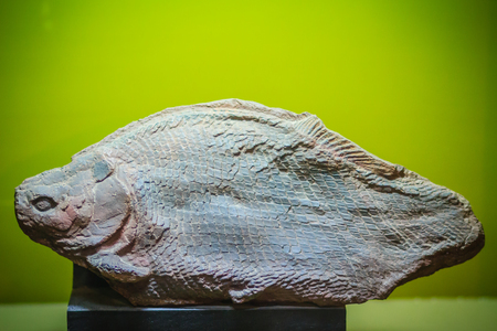 Bangkok-Thailand, July 15, 2017: The fossil of a prehistoric Herbivorous fish (Lepidotes buddhabutrensis) from Jurassic period in public Rock and Minerals Museum, Rama 6 road, Bangkok