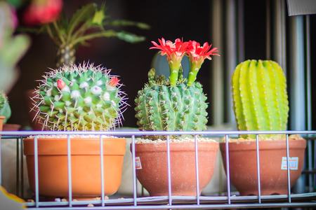 Mammillaria cactus red blooming flower for sale at the tree market.