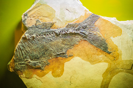 Bangkok-Thailand, July 15, 2017: The fossil of a prehistoric Cyprinid fish from Tertiary period in public Rock and Minerals Museum, Rama 6 road, Bangkok