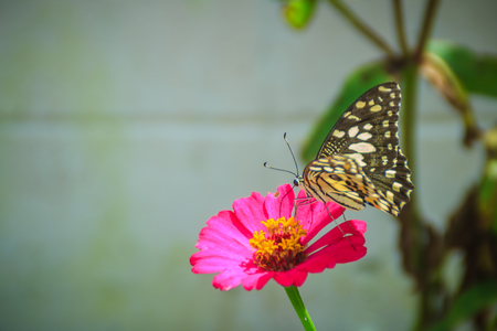 Beautiful striped butterfly is perching on pink Zinnia flower (Zinnia violacea Cav.) in summer garden on sunny day. Zinnia is a genus of plants of the sunflower tribe within the daisy family. Фото со стока