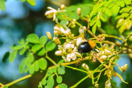Blurry carpenter bee (Xylocopa latipes) is flying on Moringa oleifera tree with white flowers. Selective focus. Stock Photo