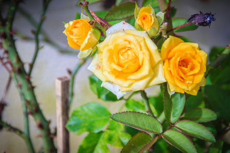 Beautiful Yellow and orange roses in the garden that ready for Valentines Day Stock fotó