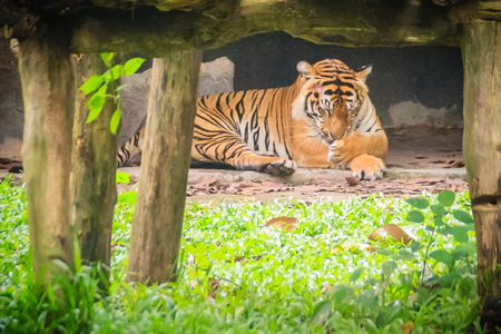 Cute Corbetts tiger (Panthera tigris corbetti) in the forest, also known as the Indochinese, or Malayan tiger.