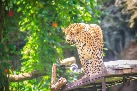 Angry leopard (Panthera pardus) is roaring on the scaffold on the trees. The leopard is one of the five big cats in the genus Panthera. It is a member of the family Felidae. Stock fotó
