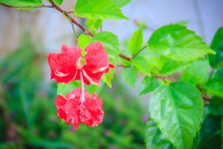 雑種のハイビスカスの赤い二重花弁の朱色の花ススキ、中国のハイビスカスとしても知られている、中国のバラ、ハワイのハイビスカスと shoeblackplan