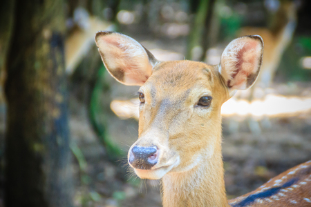 Cute chital or cheetal (Axis axis), also known as spotted deer or axis deer, is a species of deer that is native in the Indian subcontinent. Stock Photo