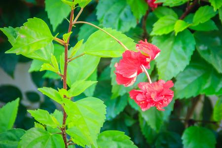 赤ダブル花びら朱花ハイブリッド ハイビスカスローザ - ススキ、として知られている中国のハイビスカス、中国のバラ、ハワイアン ハイビスカス、 写真素材