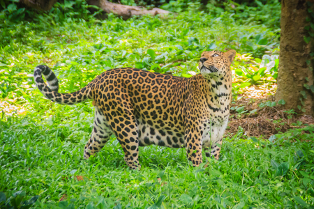 Leopard (Panthera pardus) is running on the green grass in the green tropical forest. The leopard is one of the five big cats in the genus Panthera. It is a member of the family Felidae.