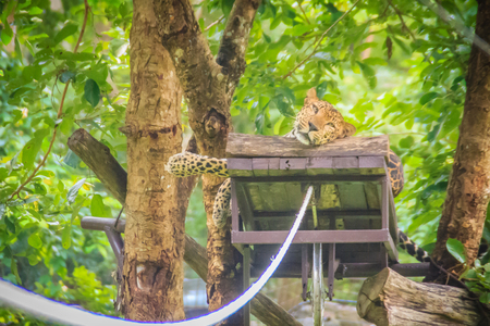Leopard (Panthera pardus) is relaxing on the scaffold ambush on the trees for the hunter to snipe in the forest. The leopard is one of the five big cats in the genus Panthera. Stock Photo