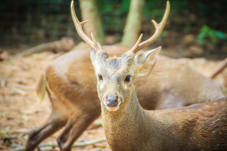 Cute Indian hog deer (Hyelaphus porcinus), a small deer whose habitat ranges from Pakistan, through northern India, to mainland southeast Asia.