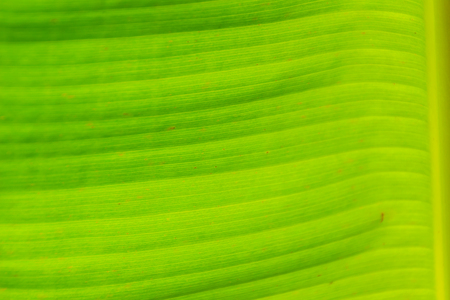 Green leaf pattern of banana tree for background. Colorful exotic banana leaf under bright sunlight.