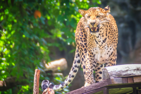 Angry leopard (Panthera pardus) is roaring on the scaffold on the trees. The leopard is one of the five big cats in the genus Panthera. It is a member of the family Felidae. Stock Photo