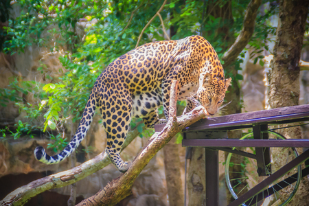 Leopard (Panthera pardus) is climbing on the scaffold on the trees. The leopard is one of the five big cats in the genus Panthera. It is a member of the family Felidae.