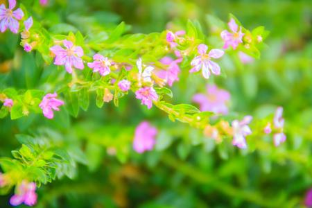 Beautiful purple Cuphea hyssopifolia flower, also known as false heather, Mexican heather, Hawaiian heather or elfin herb Stock Photo