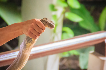 A man using the unique ability to catch a king cobra snake with bare hand. The king cobra (Ophiophagus hannah), also known as hamadryad, is the largest venomous snake species in the world. Stock Photo