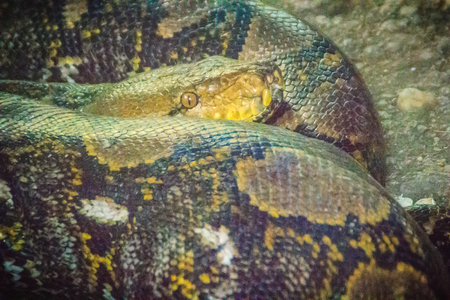 The reticulated python (Python reticulatus) is a species of python found in Southeast Asia. They are nonvenomous constrictors and normally not considered dangerous to humans.