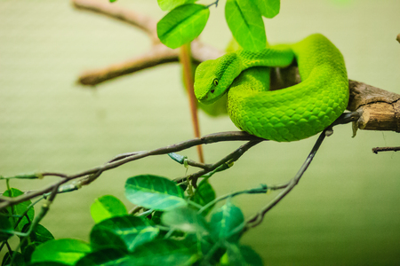 Trimeresurus trigonocephalus, the Sri Lankan pit viper, Ceylon pit viper, Sri Lankan green pitviper or locally, pala polonga, is a venomous pit viper species endemic to Sri Lanka. Stock Photo