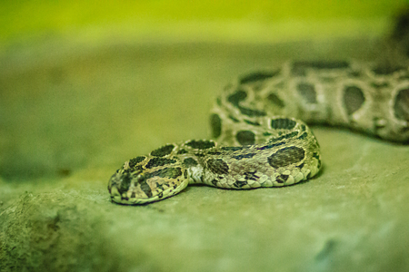 Siamese russells viper (daboia russelii siamensis) in the snake farm. Daboia siamensis is a venomous viper species that is endemic to parts of Southeast Asia, southern China and Taiwan. Stock Photo