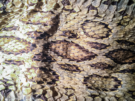leather texture: Dried snake skin of Siamese russells viper (Daboia siamensis) for background. Daboia siamensis is a venomous viper species that is endemic to parts of Southeast Asia, southern China and Taiwan.