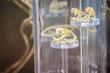 Snake skulls of Monocled cobra (Naja kaouthia) and Indochinese spitting cobra (Naja siamensis)