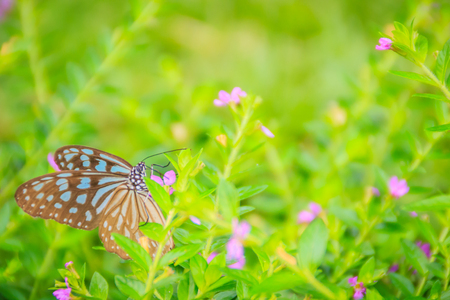 The dark glassy blue tiger butterfly is perched on purple Mexican heather flowers. Selective focus Stock Photo