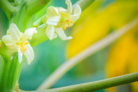 White papaya flowers on treetop. Organic papaya flower on the tree. Papaya plantation and productivity concept. Фото со стока