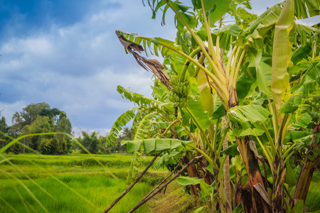 Mixed farming by planting banana trees in rice fields is agricultural system in which a farmer conducts different agricultural practice together two or more of plants simultaneously in the same field.