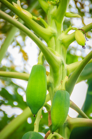 Young green papaya fruits on treetop. Organic raw green papaya on the tree. Plantation and productivity concept. Фото со стока