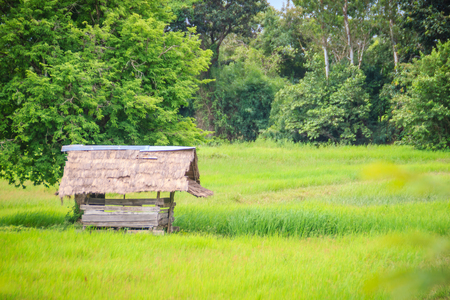 A peaceful cottage on rice farm with green background. Tranquilly green rice field and farmer hut background.