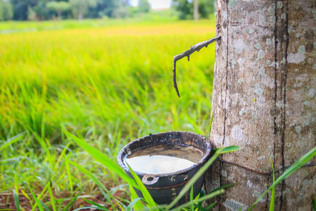 The problem of para rubber tapping during the rainy season. Tapping rubber in the rainy season is a very important issue for farmers, due to the high yield of rubber trees but can not collect it. Stock Photo