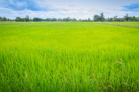 Leaves of the green rice tree background in the organic rice fields during the farming season.