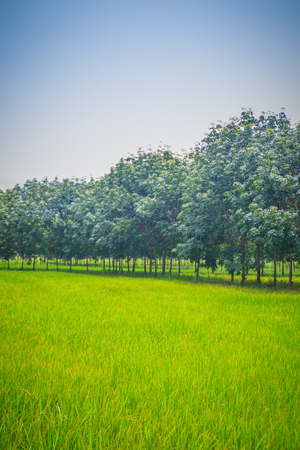 Mixed farming by planting rubber trees in rice fields is agricultural system in which a farmer conducts different agricultural practice together two or more of plants simultaneously in the same field.