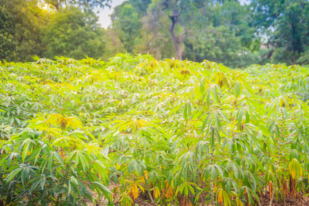 Green cassava tree in the cultivated field. Cassava (Manihot esculenta), also called Yuca, Mandioa, Manioc, Tapioca, Brazilian arrowroot, woody shrub native to South America. Stock Photo