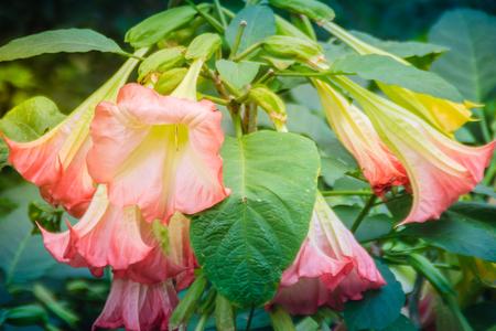 Pink angel's trumpet flowers (Brugmansia suaveolens) on tree. Brugmansia suaveolens also known as angel trumpet, or angel's tears, is a South American species of flowering plants that grow as shrubs. Stockfoto