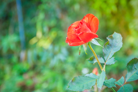 Beautiful single orange rose flower on green branch in the garden. Blooming fresh orange rose flower in the morning.
