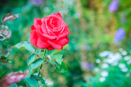 Beautiful single red rose flower on green branch in the garden. Blooming fresh red rose flower in the morning.