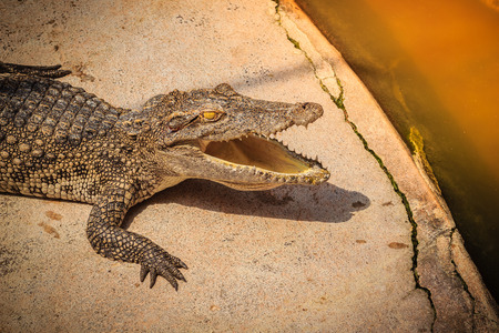 An angry crocodile is open jaws and ready to strike. A young crocodile is open mouth while resting at the farm. Commercial crocodile farming business is very profitable, but requires for 3 to 4 years. Stock Photo