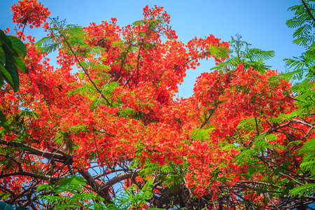 Beautiful red royal poinciana or flamboyant flower (Delonix regia). It is species of flowering plant in the bean family Fabaceaealso and also one of several trees known as flame tree or peacock flower Stock Photo