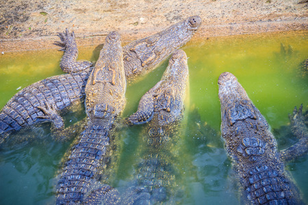 Group of young crocodiles are basking in the concrete pond. Crocodile farming for breeding and raising of crocodilians in order to produce crocodile and alligator meat, leather, and other goods. Stock Photo