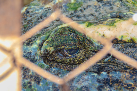 Scary crocodile eye while sleeping in the farm. Crocodile farming for breeding and raising of crocodilians in order to produce crocodile and alligator meat, leather, and other goods.