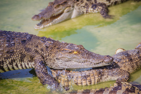 Scary crocodile is eating fresh meat in the farm. Crocodile farming for breeding and raising of crocodilians in order to produce crocodile and alligator meat, leather, and other goods. Stock Photo