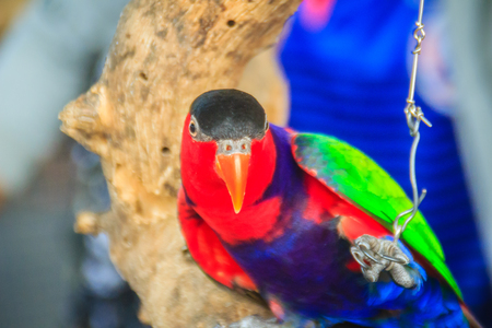 Leg chained black-capped lory parrot that look so sad and agonize. Black-capped (Lorius lory) also known as western black-capped lory or the tricolored lory, is a parrot found in New Guinea. Stock Photo