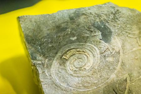 Fósil de conchas de gastrópodos para la educación de principios del Cámbrico. La concha del gasterópodo consiste en una sola válvula, a diferencia de los bivalvos.