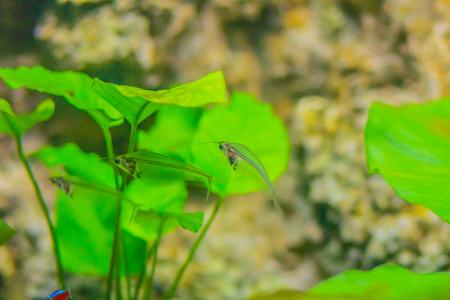 Leuke glazen meerval (Kryptopterus vitreolus), in de aquariumhandel van oudsher bekend als de glazen meerval en ook als de spookval of spookval, is een kleine soort Aziatische glazen meerval. Stockfoto