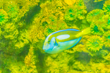 Cute Pacific regal blue tang fish (Paracanthurus hepatus) is swimming in aquarium. Paracanthurus hepatus is a species of Indo-Pacific surgeonfish.  Stock Photo