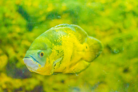 Cute oscar fish (Astronotus ocellatus) is a species of fish from the cichlid family known under a variety of common names, including tiger oscar, velvet cichlid, and marble cichlid.